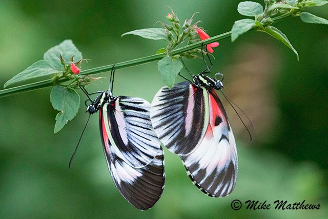 Piano Key Butterflies