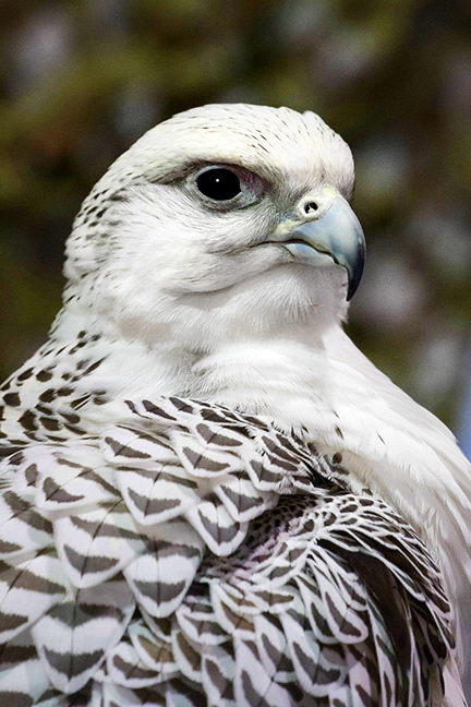 Gyrfalcon email copy