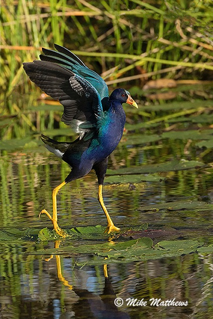 Purple Galinule walking on water email copy