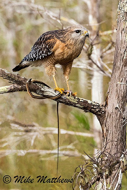 Red Shouldered Hawk with Ribbon Snake copy