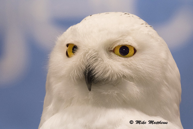 Snowy Owl email copy
