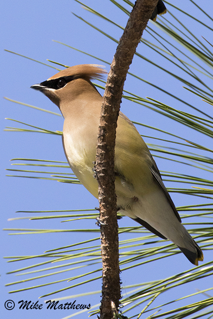 Cedar Waxwing in pine tree email copy