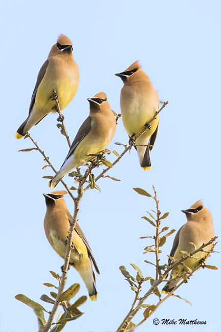 Cedar Waxwings email copy