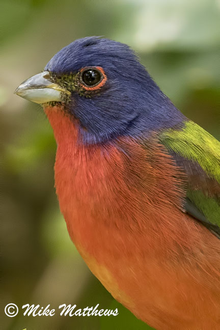 Painted Bunting email copy