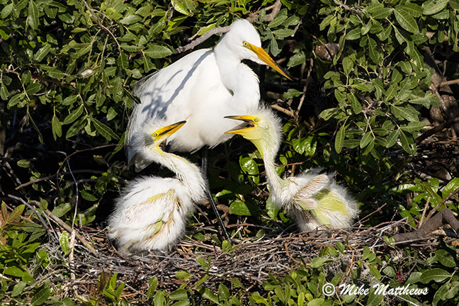 White Egret's with chicks email copy copy