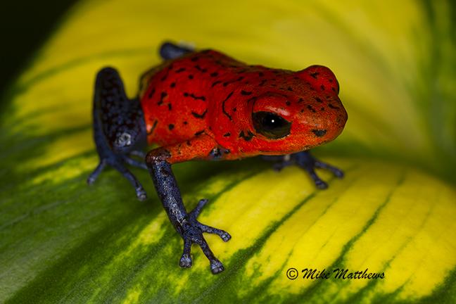 Blue Jean Dart Frog