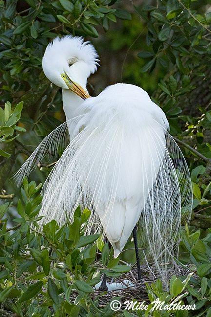White Egret with eggs